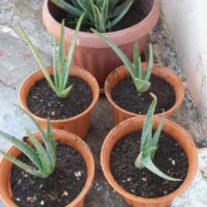 Φυτά Aloe Vera